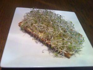 Alfalfa kiemgroenten